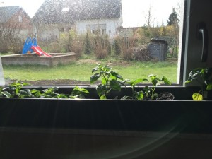 Chili am Fenster
